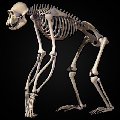 Chimp Skeleton